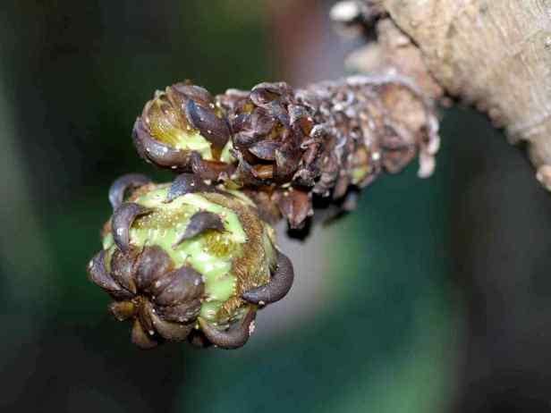 06 Ficus cereicarpa - 26.jpg