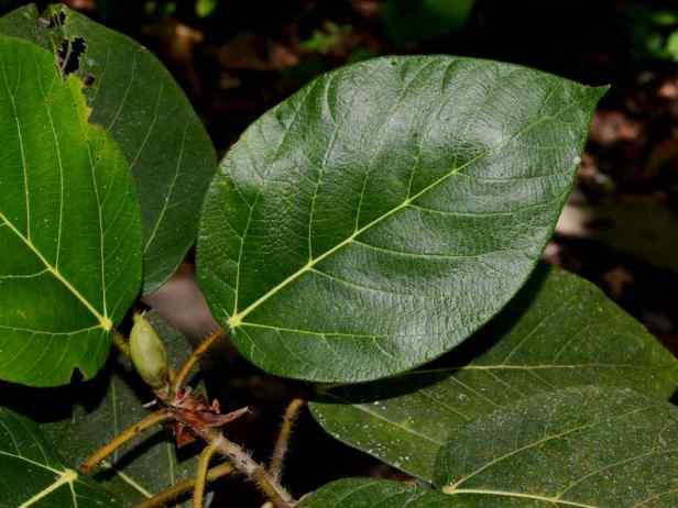 06 Ficus minahassae - 09.jpg