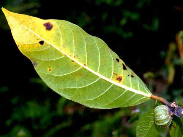 07 Ficus septica - 2.jpg