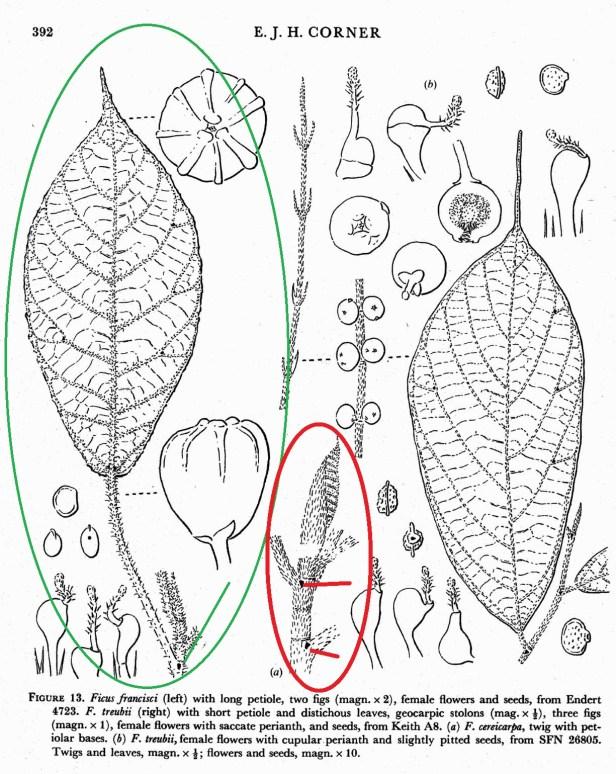 Corner 1978 Ficus cereicarpa and F. francisci compared - 03.jpg