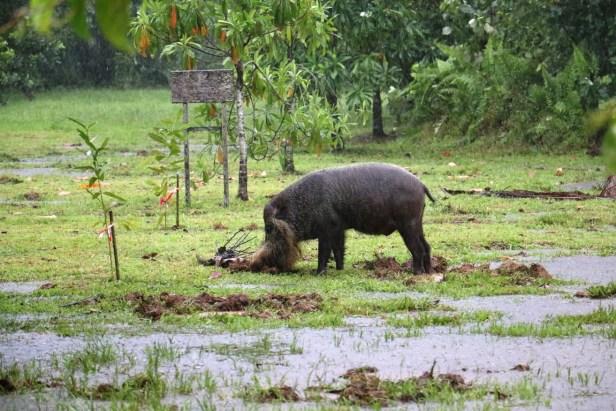 IMG_2051 - Bearded Pig Bako.JPG