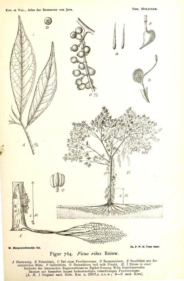 Koorders  et Val. (1918) Ficus ribes  (2).jpg