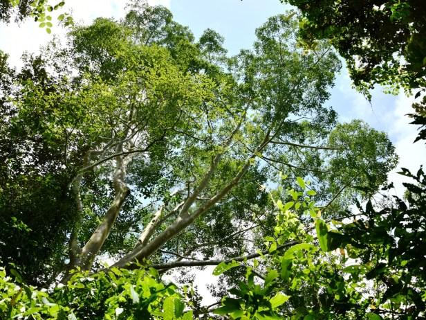 William Wong 2018_1646 Ficus nervosa Tabi.JPG