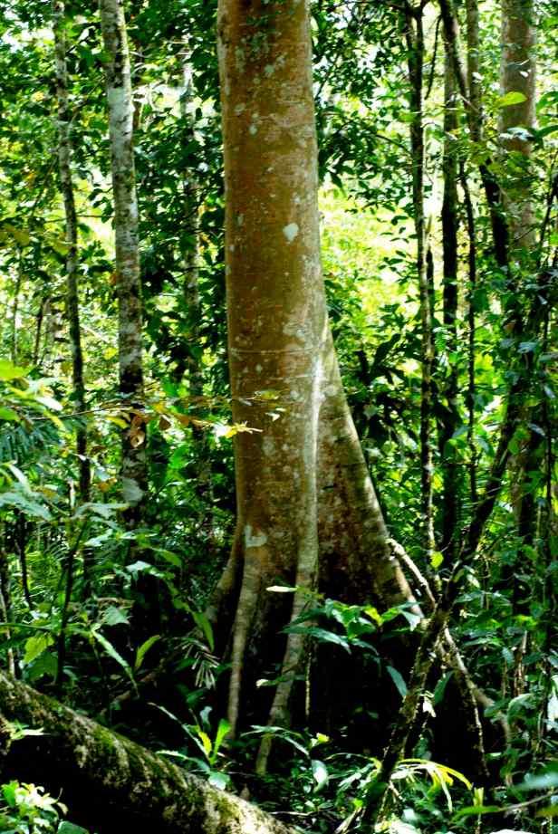 01 Ficus variegata - 1.jpg