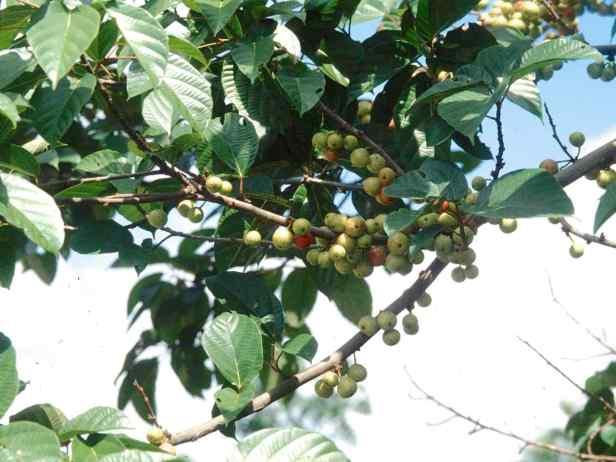 variegata - 2