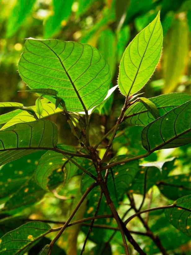 03 Ficus francisci - 10.jpg