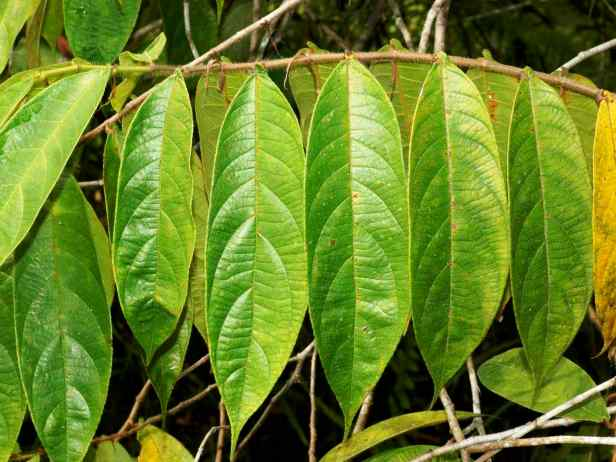 03 Ficus geocharis - 02.jpg