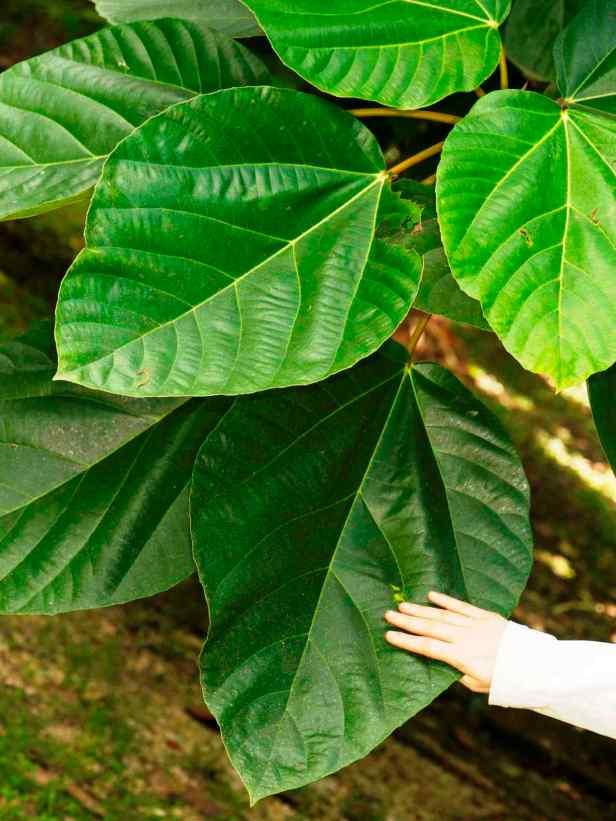 05 Ficus auriculata - 5.jpg