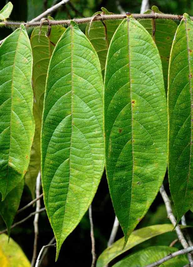 05 Ficus geocharis - 06.jpg