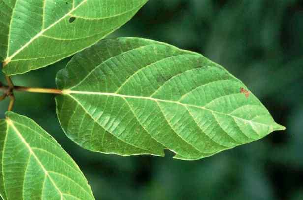 05 Ficus variegata - 4.jpg