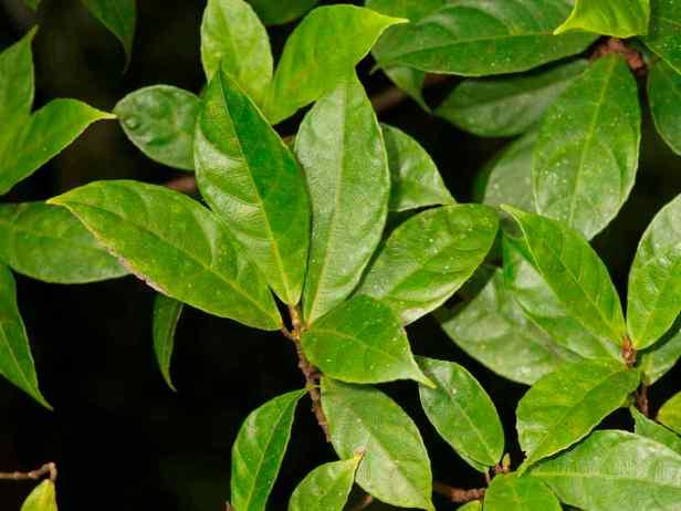 05 tarennifolia - 3.jpg