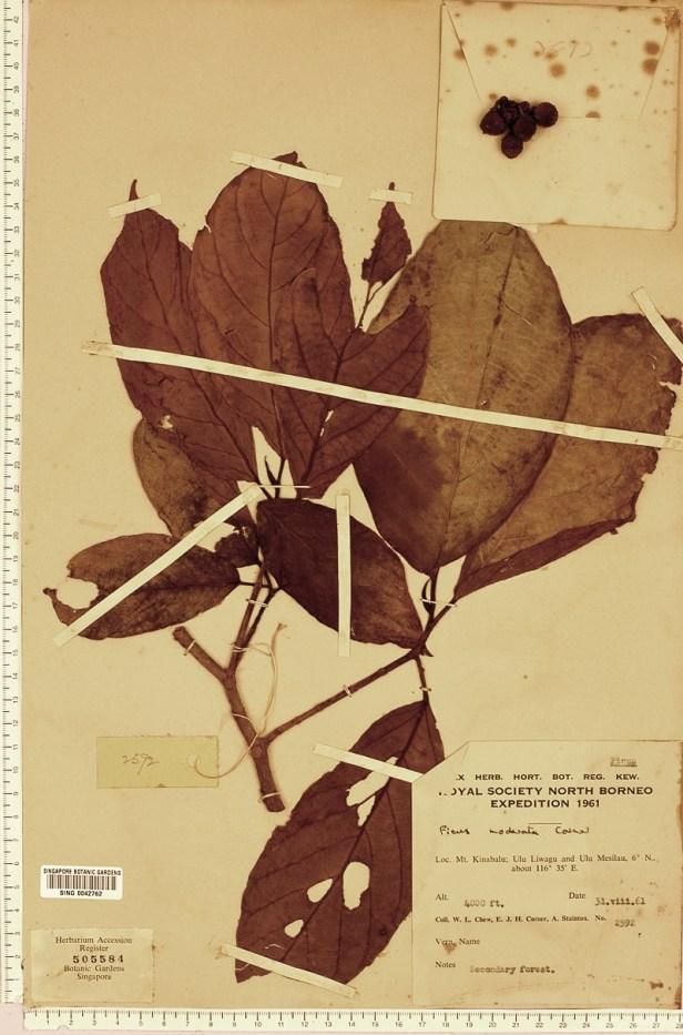 TYPE MODERATA satterthwaitei - enhanced Singapore Herbarium .jpg