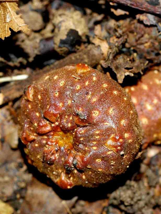01 Ficus megaleia - 26.jpg
