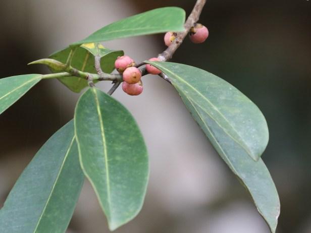 03 Ficus callophylla 0C7A6170 - Copy.JPG