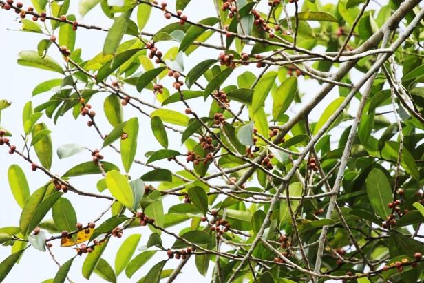06 Ficus callophylla 0C7A6195