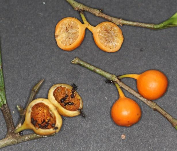 06 Ficus tinctoria gibbosa 3Y3A0619