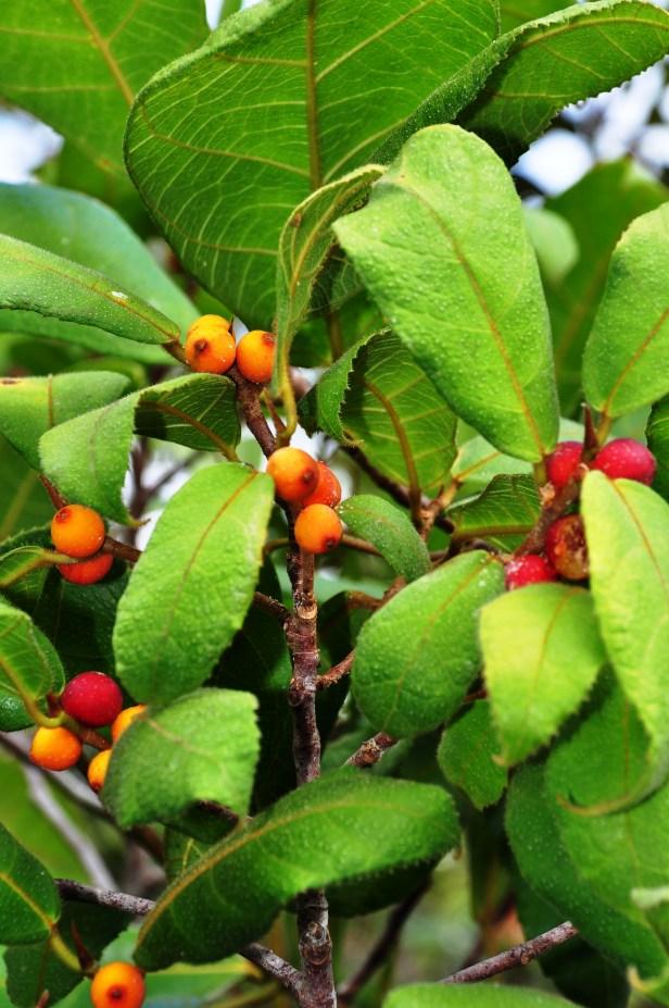 AVDE Ficus  inaequipetiolata.jpg