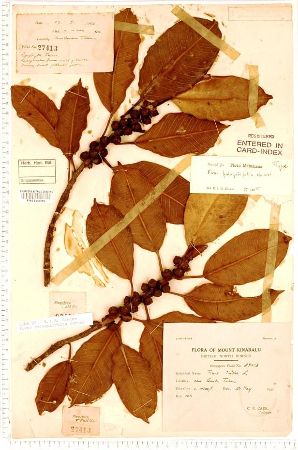 TYPE palaquifolia sumatrana SING.jpg