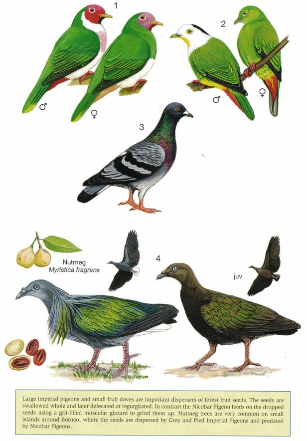 0007 03b Fruit Doves and Nicobar  - Copy - Copy.jpg
