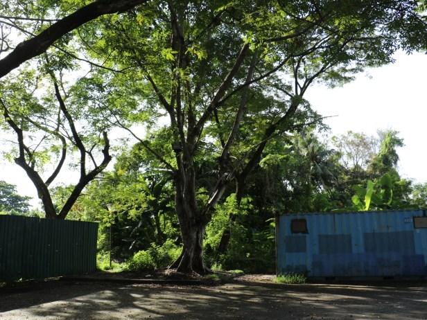 02 Ficus racemosa