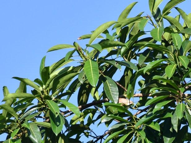03 500_1681 Strangler across brdge in tree on right.JPG
