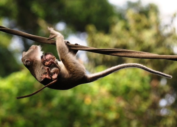 05 LT Macaque mama+baby crossing 3P7A8072.JPG