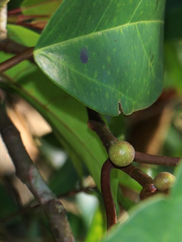 Ficus laevis 04 IMG_3359.JPG