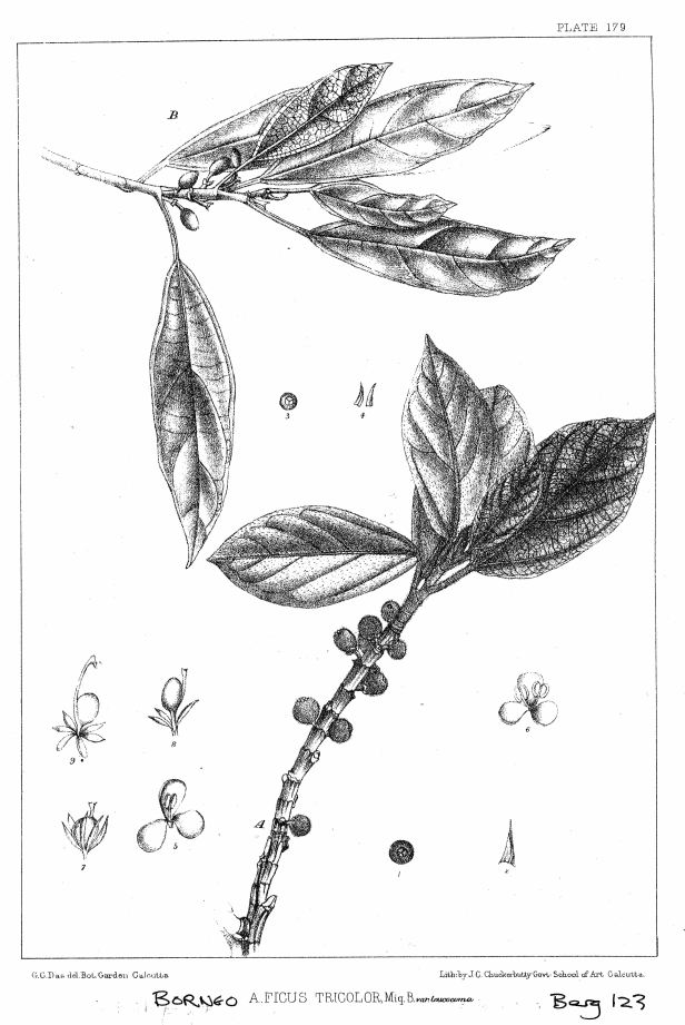 Ficus tricolor ENHANCED.jpg