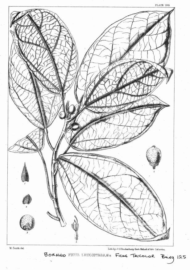 Ficus tricolor King (1887) enhanced.jpg