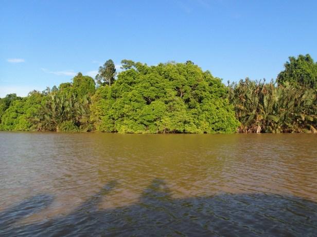 KNB 3. Kinabatangan Ficus microcarpa fig on river bank..JPG