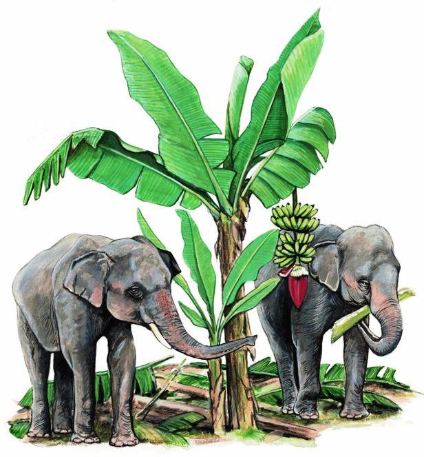 KPM 72 Elephants at banana clump 600 dpi v02.jpg