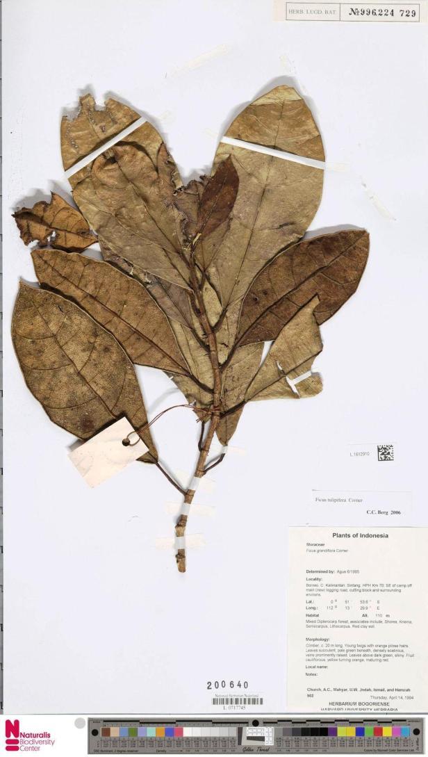 L. 1612910 tulipifera Sintang Kalimantan - Copy.jpg
