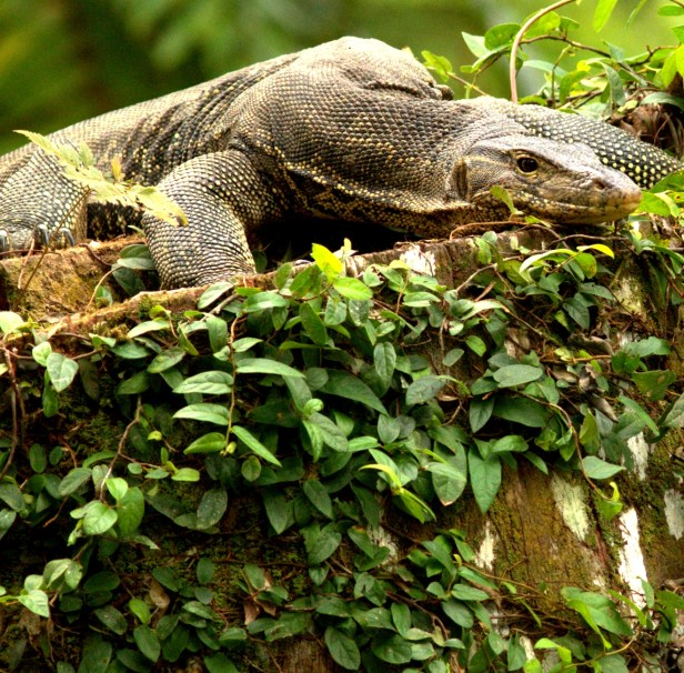 Monitor Lizard Tabin - Copy (2).jpg