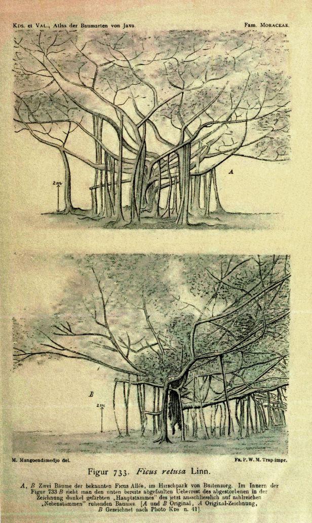 02 Microcarpa called Retusa in AVBJ (1918)