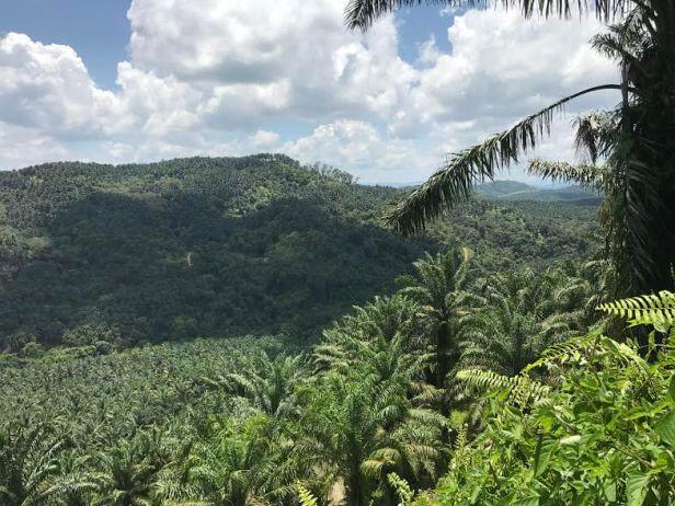 05 oil palm 0.jpg