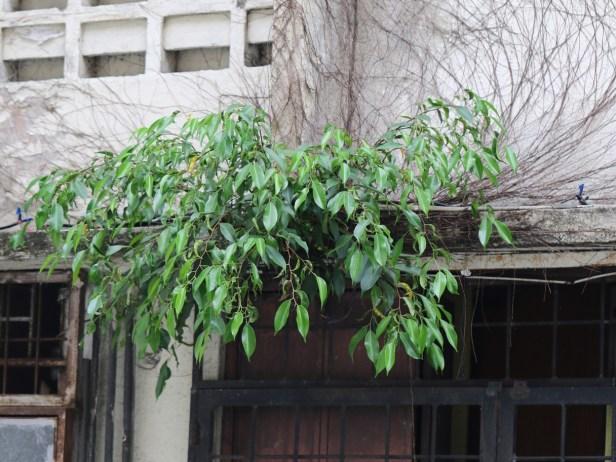 Ficus benjamina 3Y3A0626.JPG