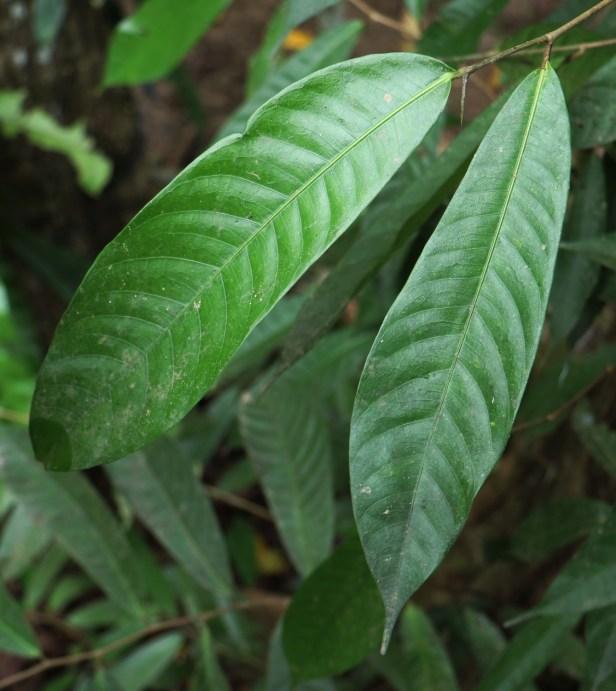 02 Ficus subulata 3P7A8658.JPG