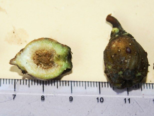 08 Ficus albomaculata 0C7A0136.JPG