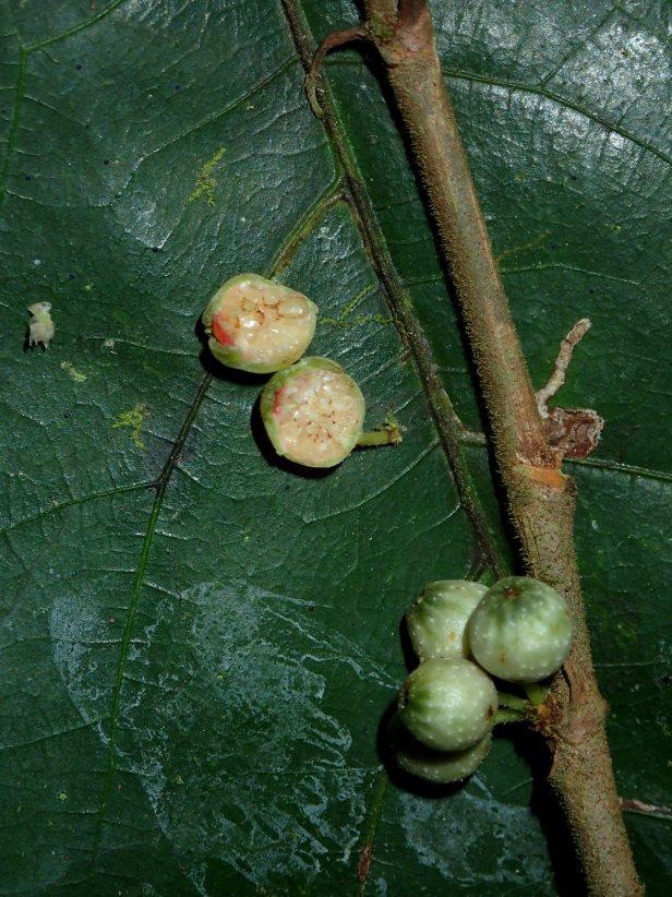 181009 Ficus scaberrima Danum BRL AP  (756).JPG