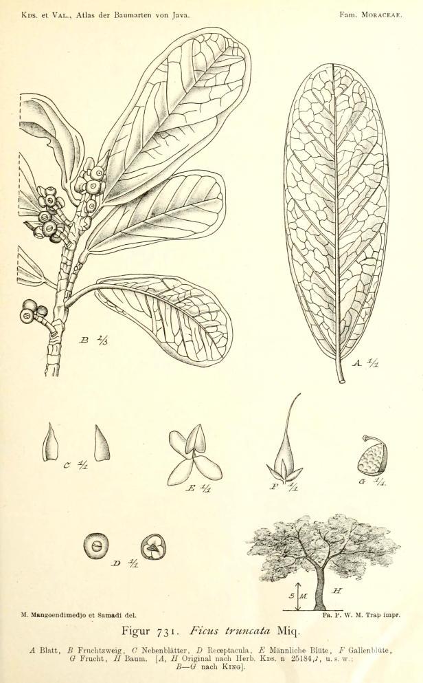 Ficus retusa Java 276951
