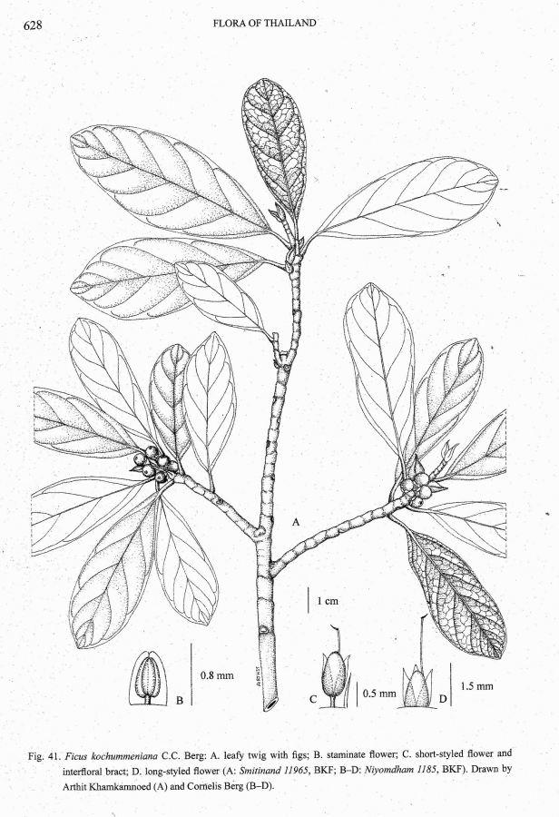 Ficus retusa listed as Kochummeniana .jpg