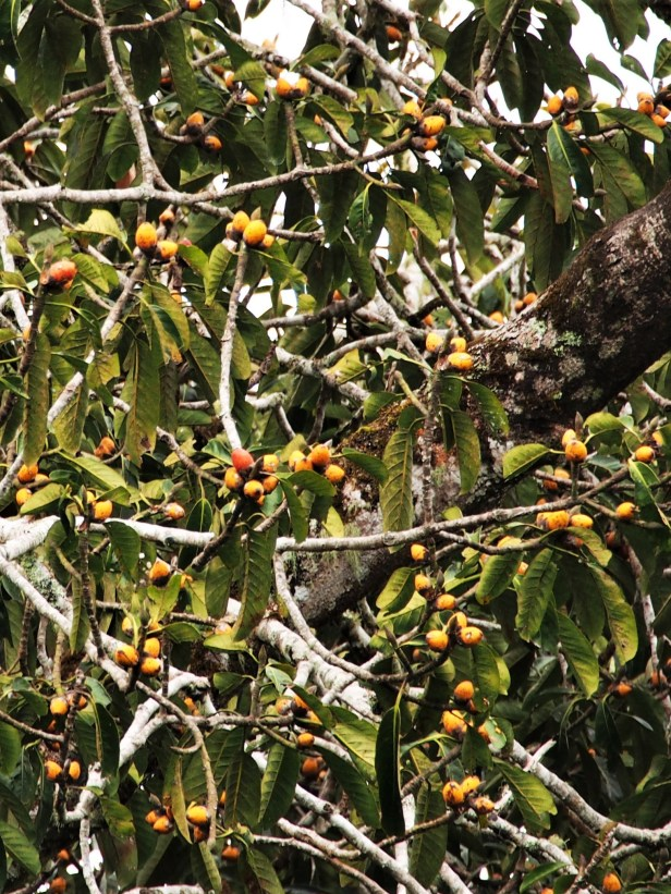 Ficus stupenda Trus Madi forest reserve .JPG