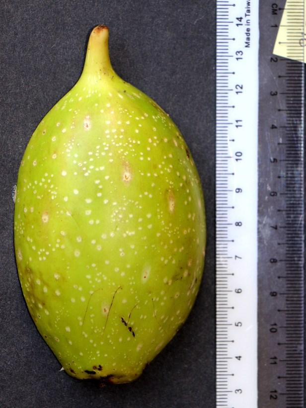 01 Ficus grandiflora 3P7A0091.JPG