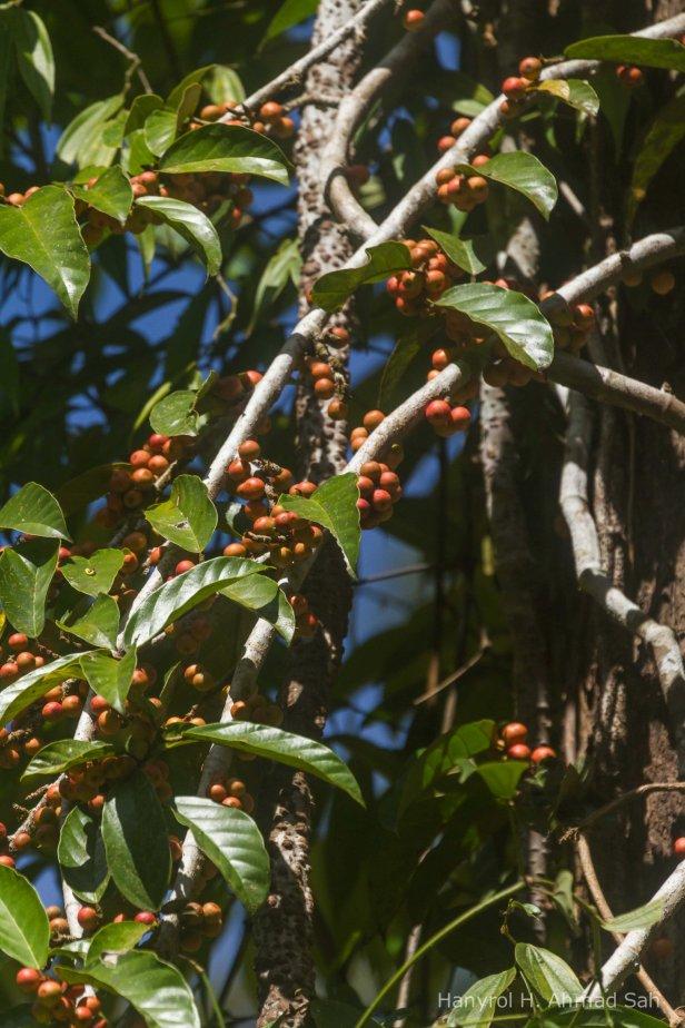 01 Ficus trichocarpa IMG_9441-2 (2).jpg