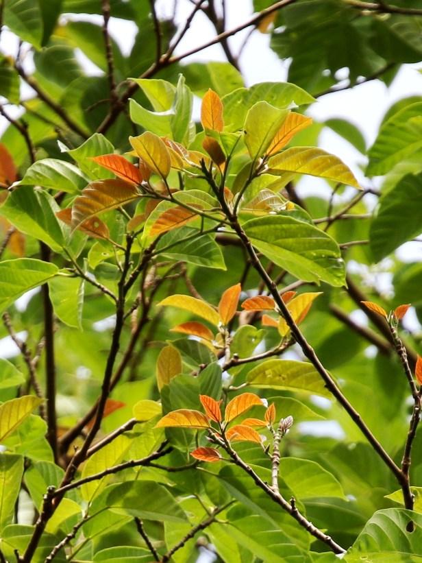 01 Ficus variegata 0C7A5408.JPG