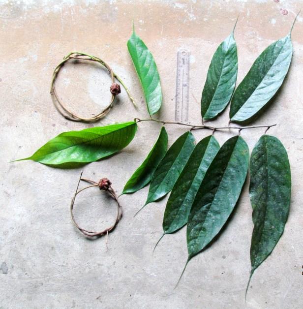 02  Ficus beccarii IMG_1321.JPG