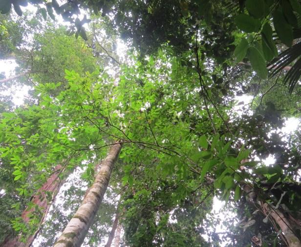 02 Ficus stolonifera Tongod IMG_0632
