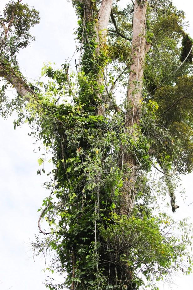 03 Ficus punctata 0C7A6759.JPG