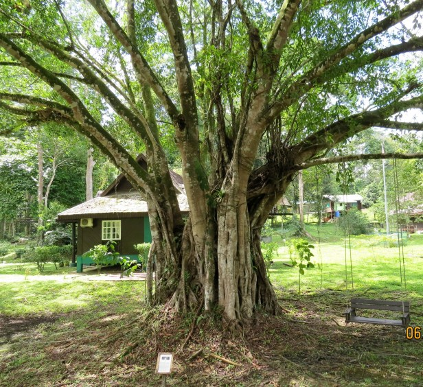 04 Ficus microcarpa Tabin  IMG_8531.JPG