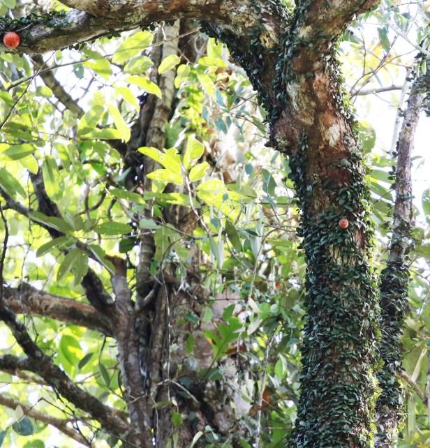 04 Ficus punctata male 0C7A6013.JPG